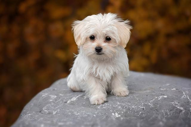Maltese Best Apartment Dogs