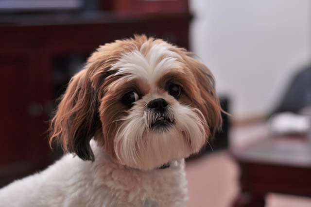 Shih Tzu Apartment Dog