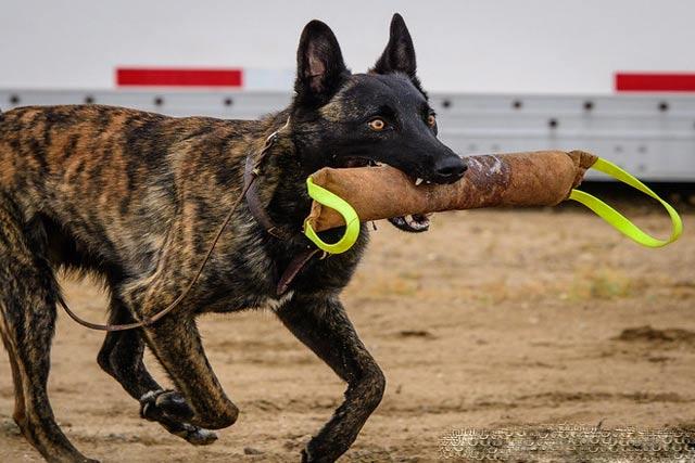 Dutch Shepherd police dogs
