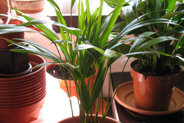 areca-indoor-palm-plants