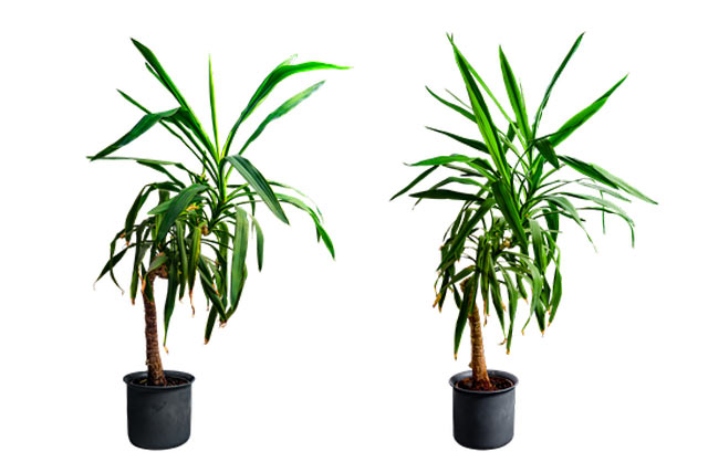 yucca-indoor-palm